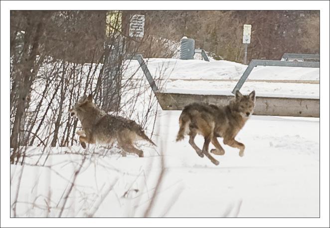 zoey-coyote