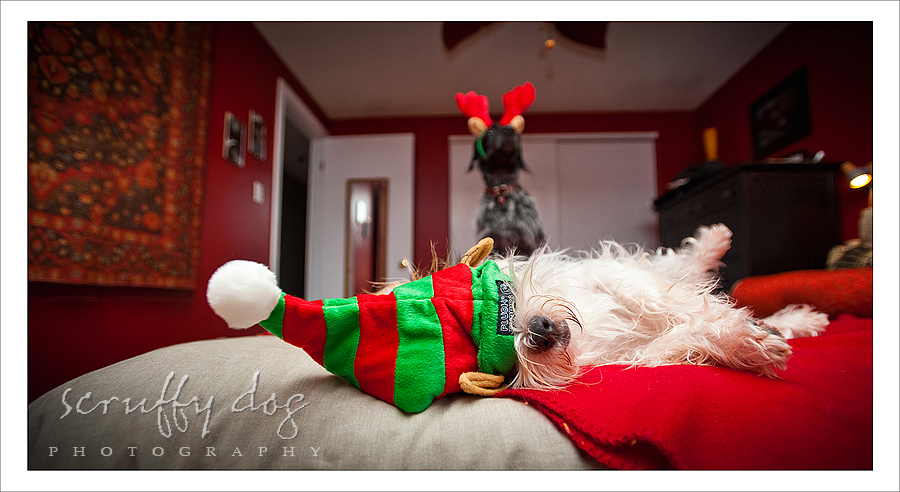 it wouldn't be christmas without an elf hat ~ {Waterloo pet ...