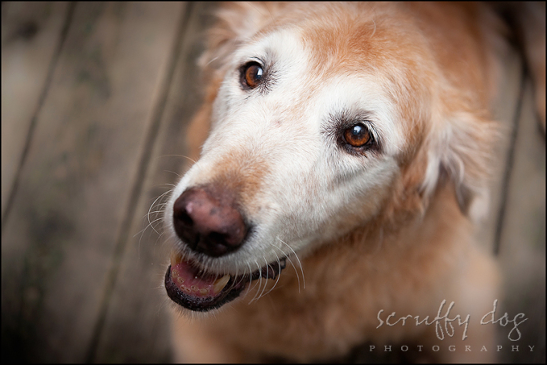 senior golden retriever photo