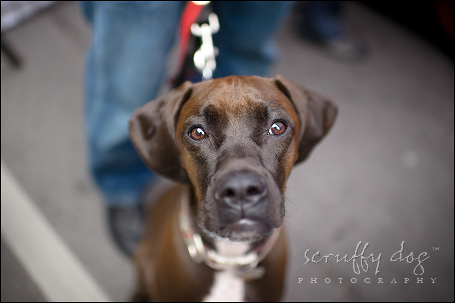 Vizsla Boxer Mix Here's what you missed at woofstock yesterday ...