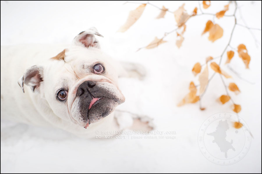 03-waterloo-ontario-dog-photographer-pet-bulldog-emma fleming-36