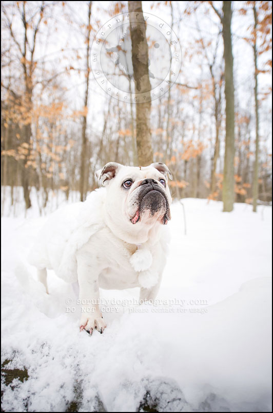 04-waterloo-ontario-dog-photographer-pet-bulldog-emma fleming-65