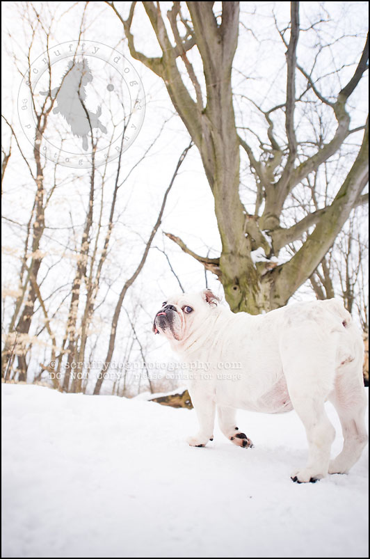 05-waterloo-ontario-dog-photographer-pet-bulldog-emma fleming-121