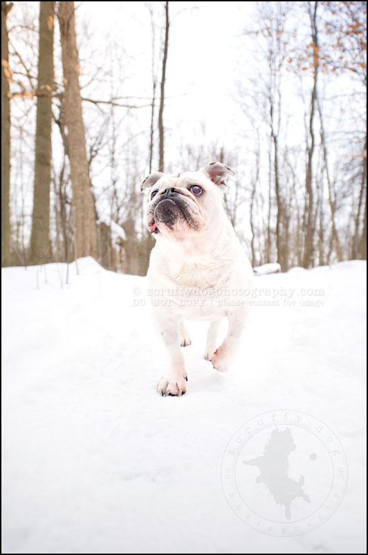 07-waterloo-ontario-dog-photographer-pet-bulldog-emma fleming-85