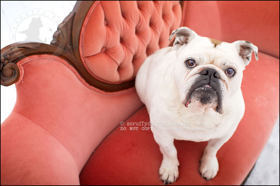 15-waterloo-ontario-dog-photographer-pet-bulldog-emma fleming-379