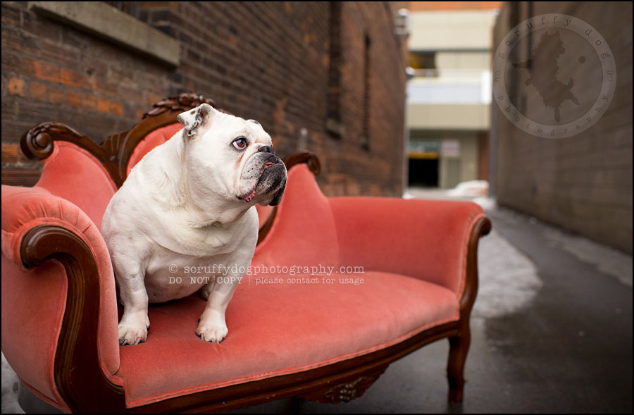 21-waterloo-ontario-dog-photographer-pet-bulldog-emma fleming-486