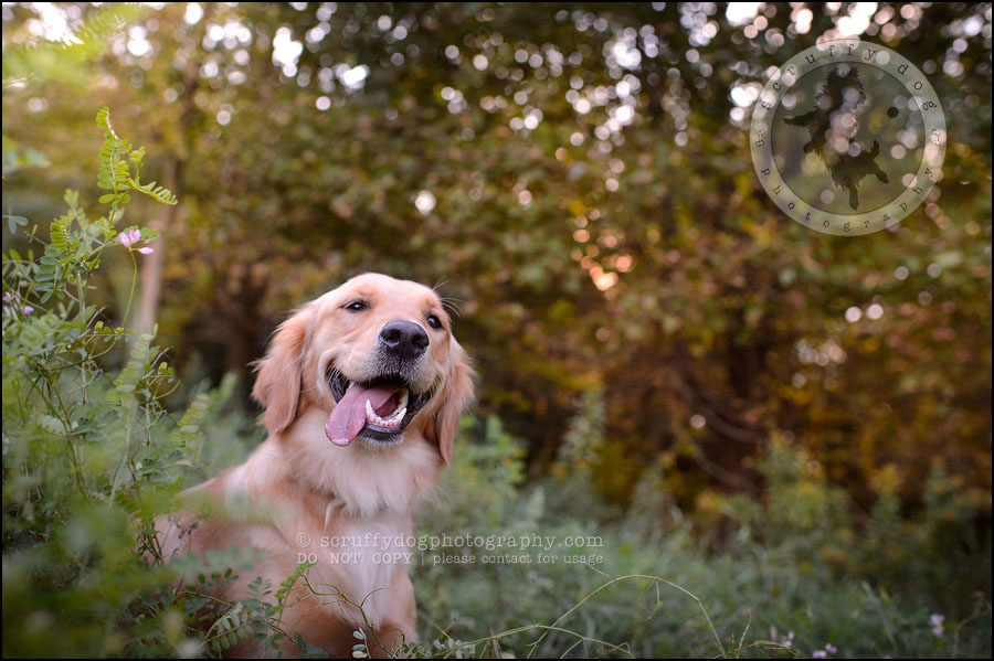 01 London pet photographer golden retriever brandi landry-17