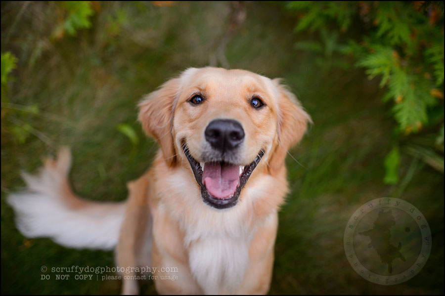 03 London pet photographer golden retriever brandi landry-96
