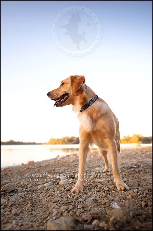 04 London pet photographer golden retriever brandi landry-274