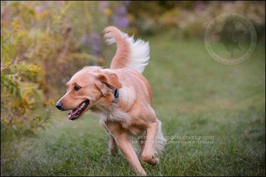 06 London pet photographer golden retriever brandi landry-140