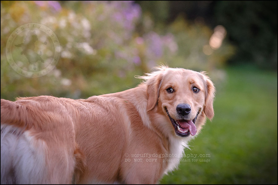 07 London pet photographer golden retriever brandi landry-203