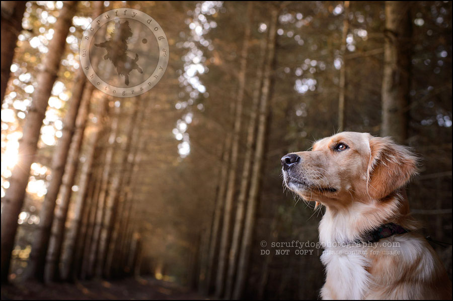 10 London pet photographer golden retriever brandi landry-90