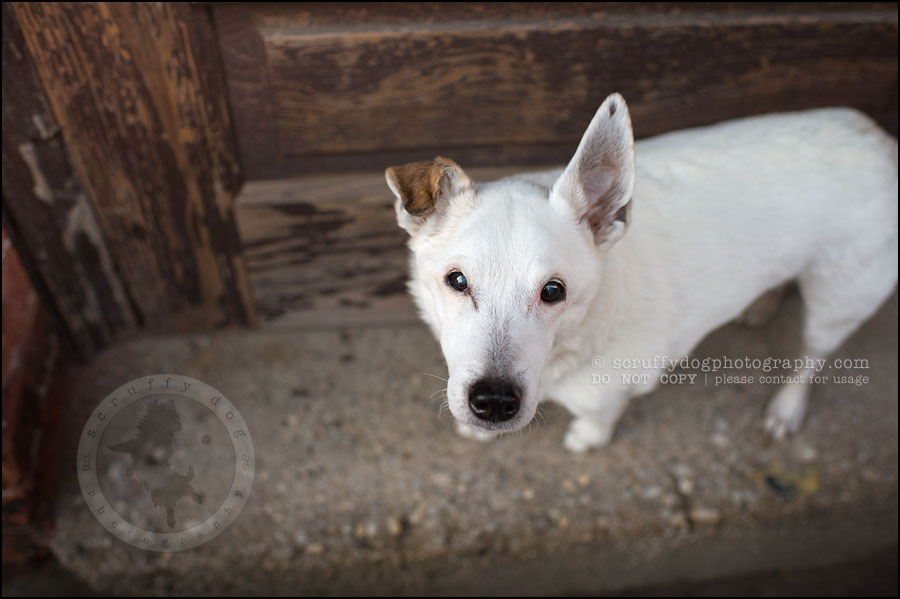 16 Burlington pet photographer jack russell cosmo debenedetti-374