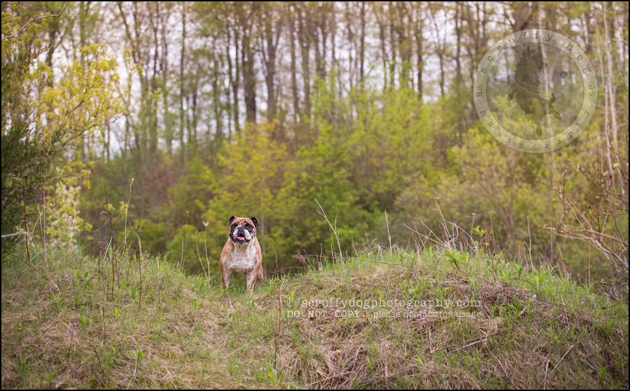 002kitchener-waterloo-ontario-pet-photographer-bulldog-sampson wanklin-105