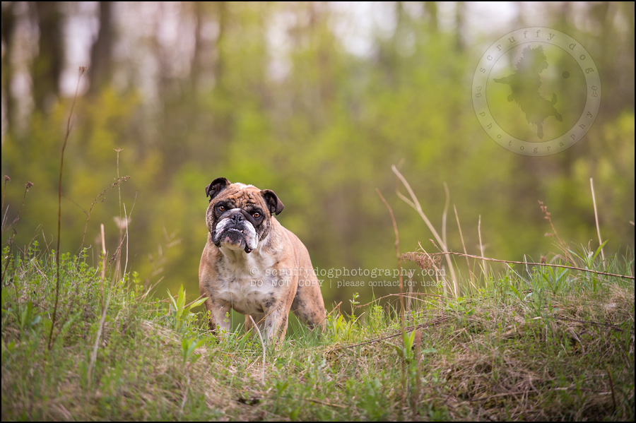 003kitchener-waterloo-ontario-pet-photographer-bulldog-sampson wanklin-125