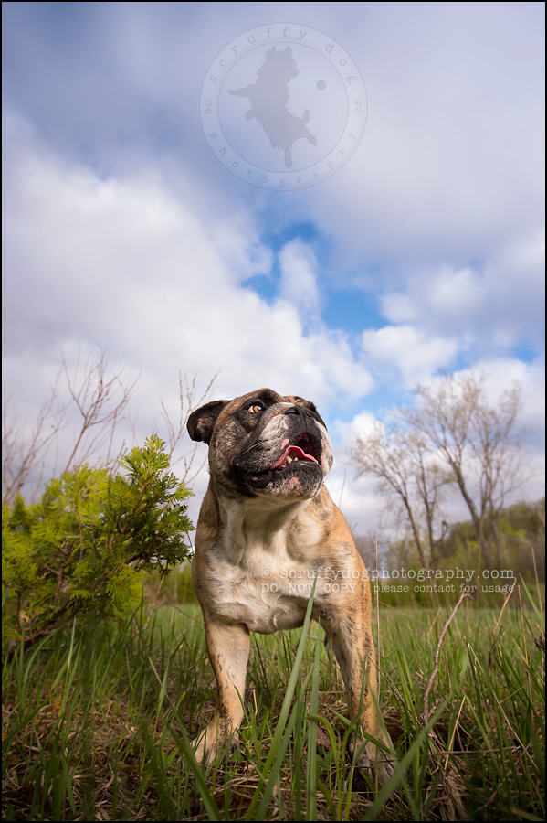004kitchener-waterloo-ontario-pet-photographer-bulldog-sampson wanklin-298