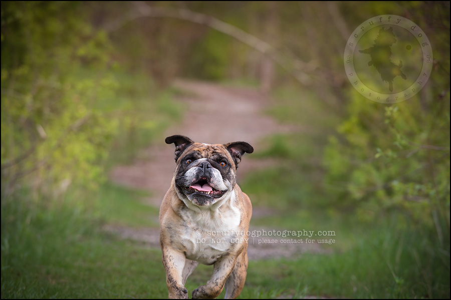 005kitchener-waterloo-ontario-pet-photographer-bulldog-sampson wanklin-255