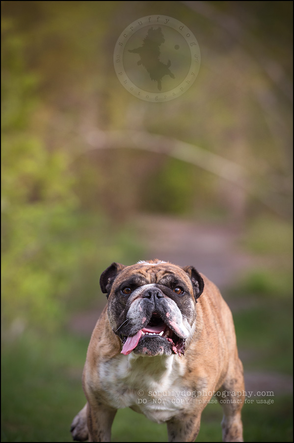 007kitchener-waterloo-ontario-pet-photographer-bulldog-sampson wanklin-286