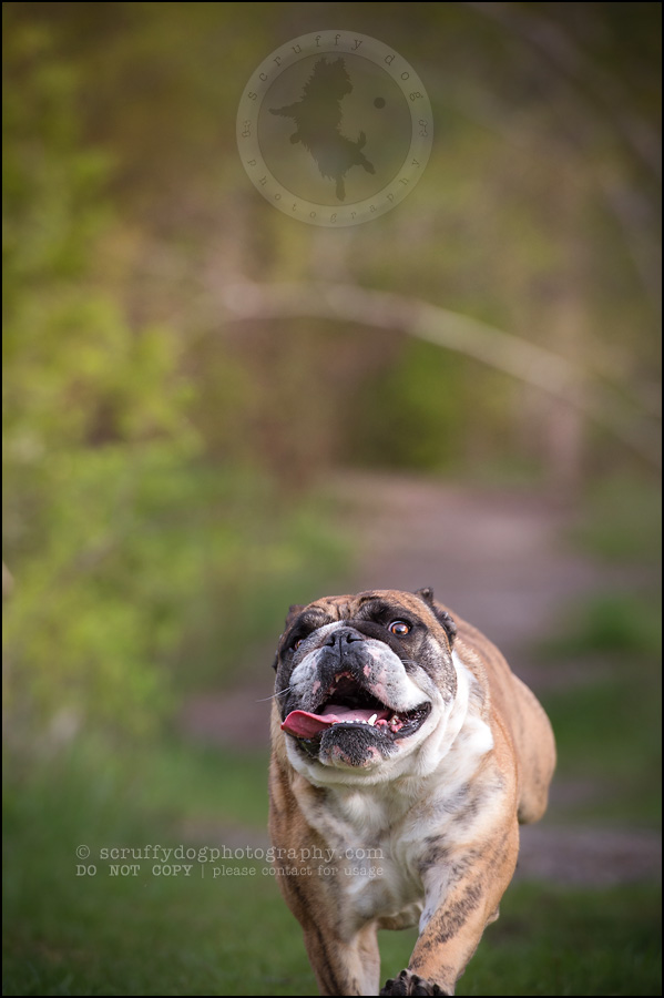 008kitchener-waterloo-ontario-pet-photographer-bulldog-sampson wanklin-285