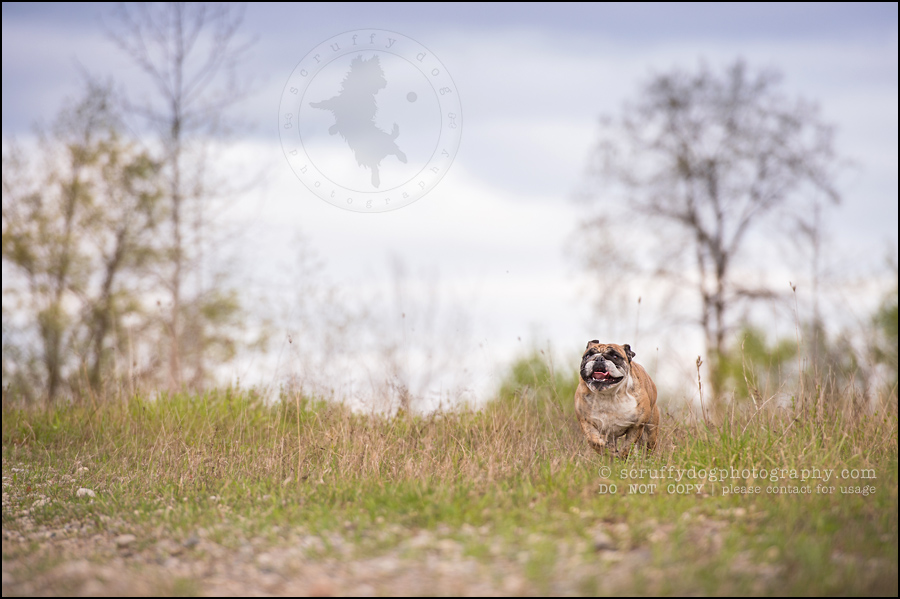009kitchener-waterloo-ontario-pet-photographer-bulldog-sampson wanklin-51