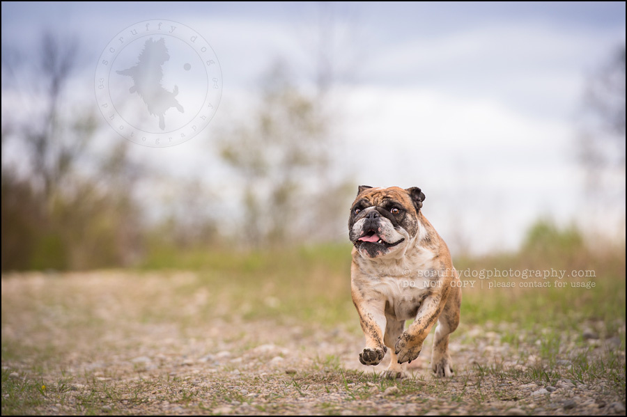 010kitchener-waterloo-ontario-pet-photographer-bulldog-sampson wanklin-62