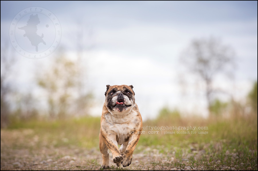 011kitchener-waterloo-ontario-pet-photographer-bulldog-sampson wanklin-38