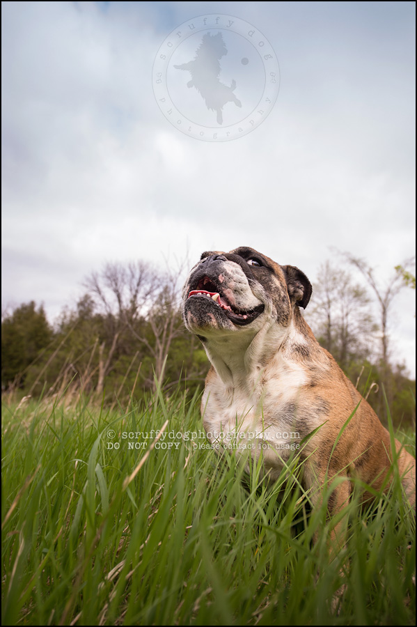 012kitchener-waterloo-ontario-pet-photographer-bulldog-sampson wanklin-151