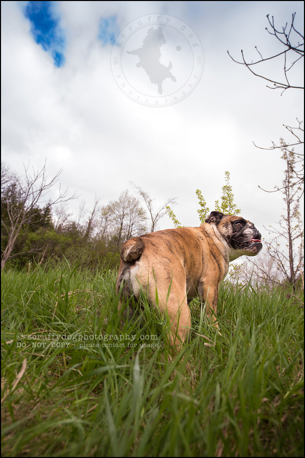 017kitchener-waterloo-ontario-pet-photographer-bulldog-sampson wanklin-166