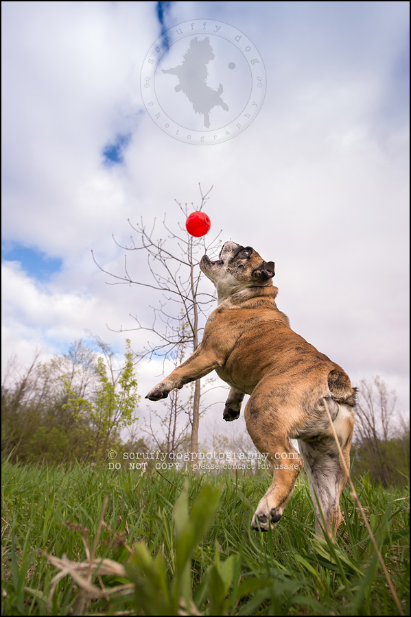 018kitchener-waterloo-ontario-pet-photographer-bulldog-sampson wanklin-208