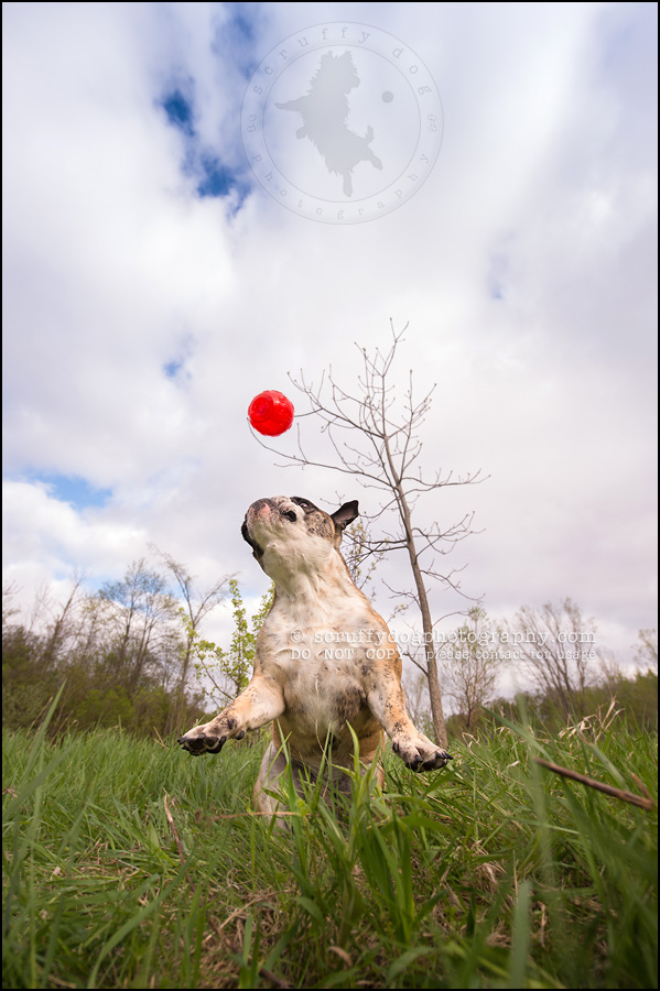 019kitchener-waterloo-ontario-pet-photographer-bulldog-sampson wanklin-213
