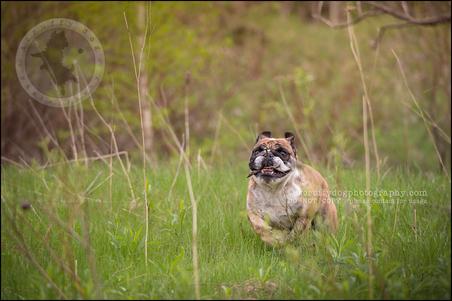 021kitchener-waterloo-ontario-pet-photographer-bulldog-sampson wanklin-71