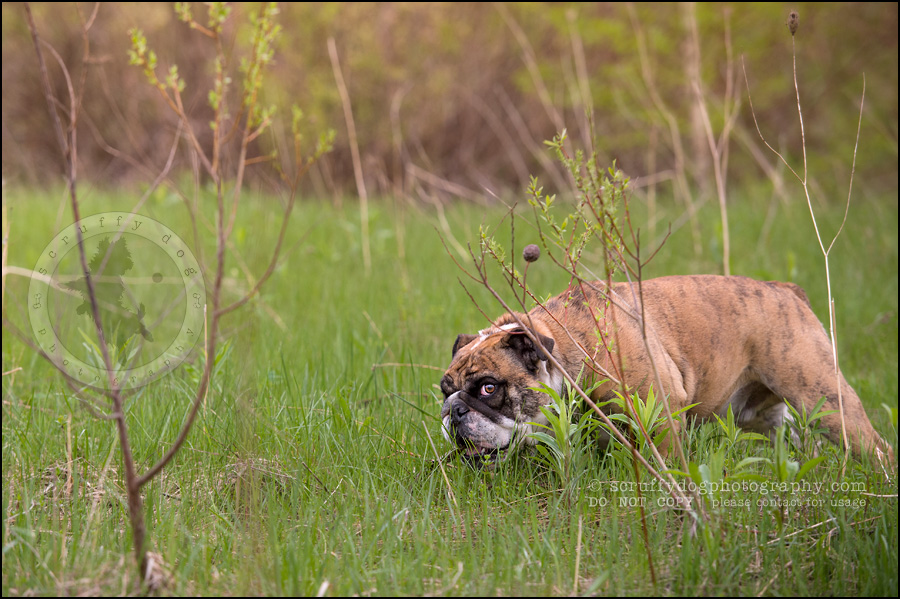 022kitchener-waterloo-ontario-pet-photographer-bulldog-sampson wanklin-85