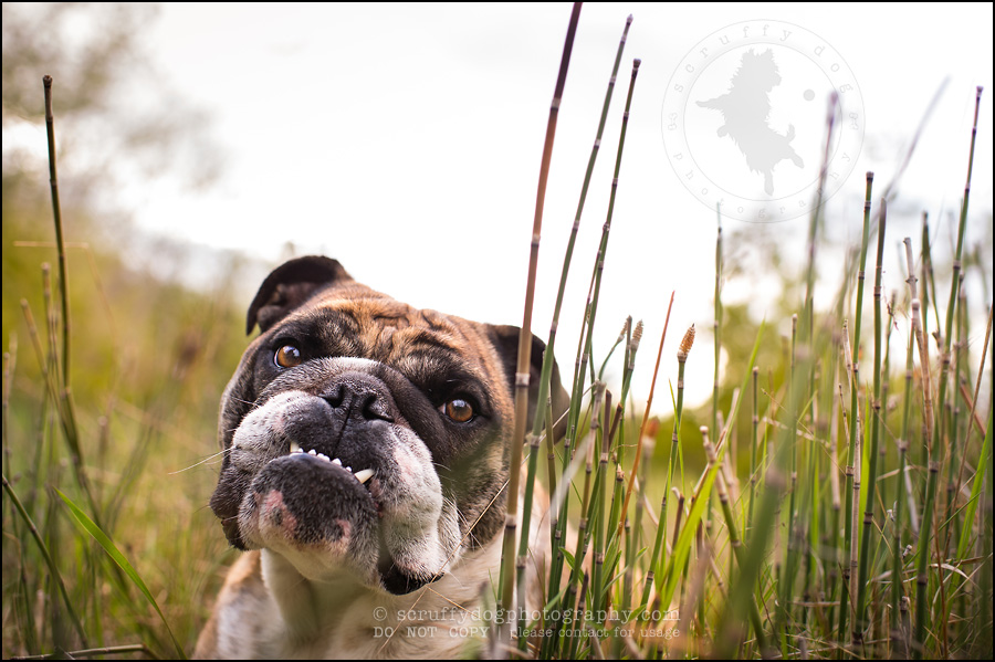 025kitchener-waterloo-ontario-pet-photographer-bulldog-sampson wanklin-238