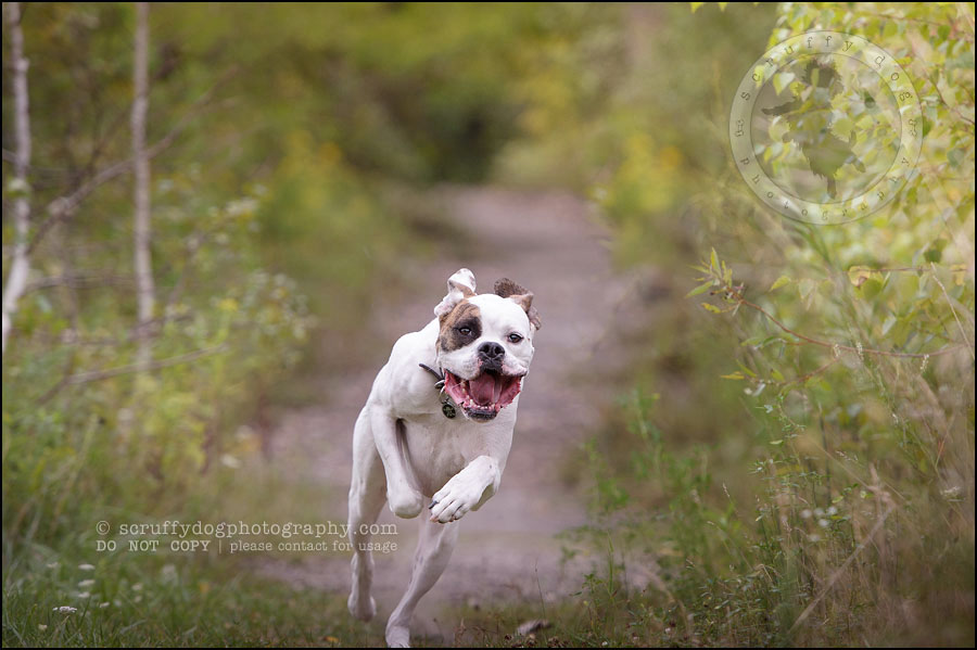 01_waterloo_ontario_pet_photographer_bulldog_dexter foster-7