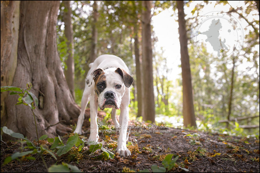 03_waterloo_ontario_pet_photographer_bulldog_dexter foster-317