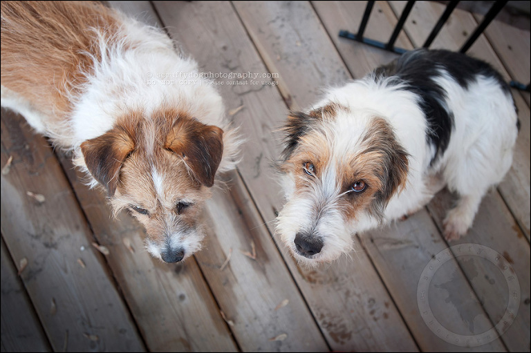 stock pet photography scruffy dogs third day-6