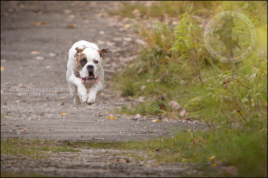 05_waterloo_ontario_pet_photographer_bulldog_dexter foster-181