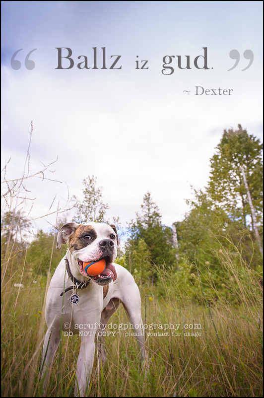 08_waterloo_ontario_pet_photographer_bulldog_dexter foster-138