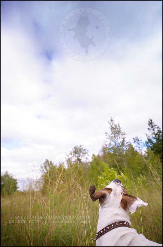 12_waterloo_ontario_pet_photographer_bulldog_dexter foster-135
