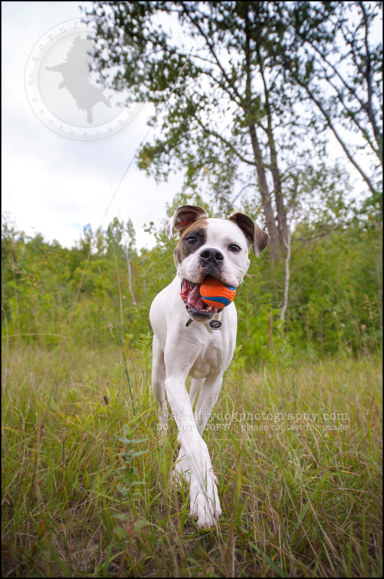 13_waterloo_ontario_pet_photographer_bulldog_dexter foster-132