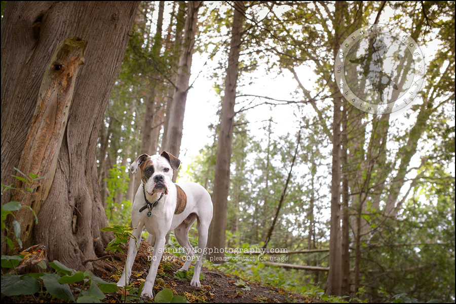 14_waterloo_ontario_pet_photographer_bulldog_dexter foster-273