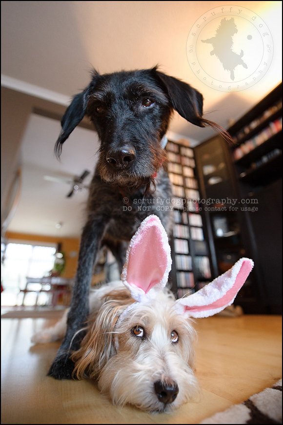 17_waterloo_ontario_pet_photographer_bulldog_easter-17
