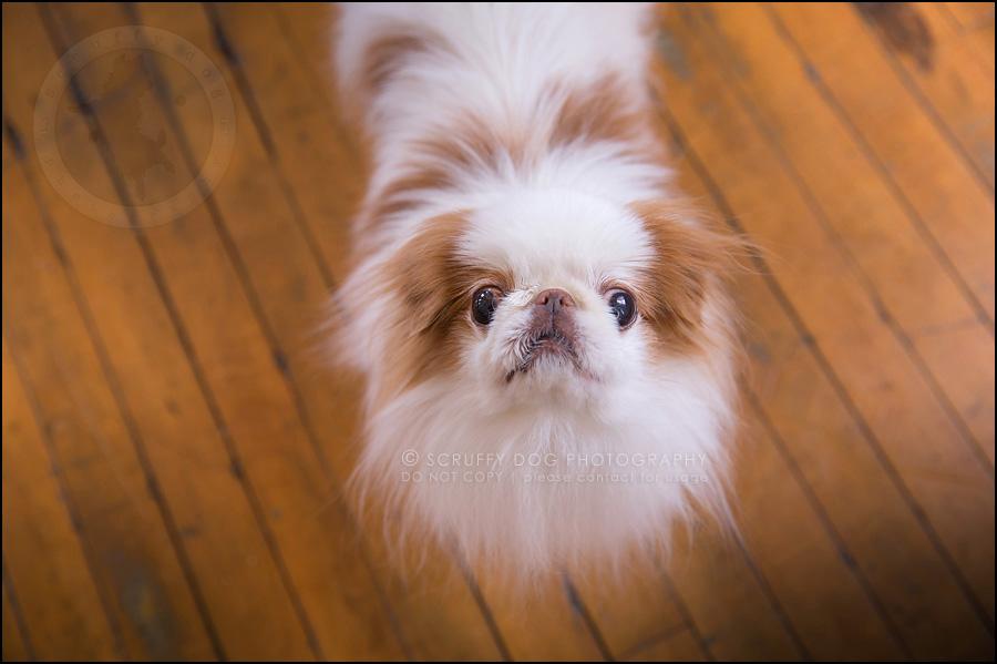 05 ontario studio pet photographer boey huey zoey szeto-1302