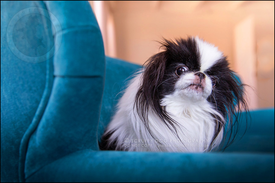 06 ontario studio pet photographer boey huey zoey szeto-1129