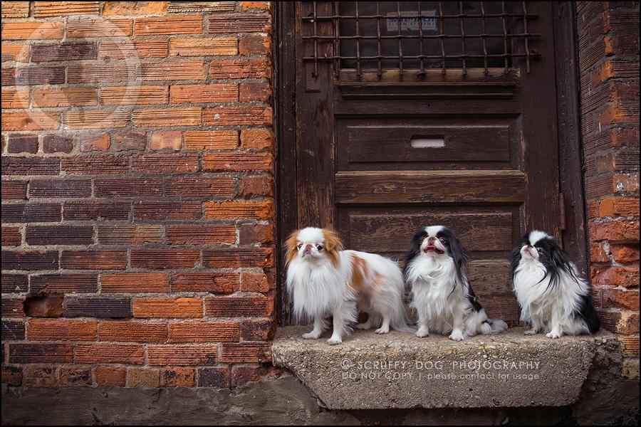 01_Toronto_pet_photographer_Japanese_chins_boey huey zoey szeto-94-99