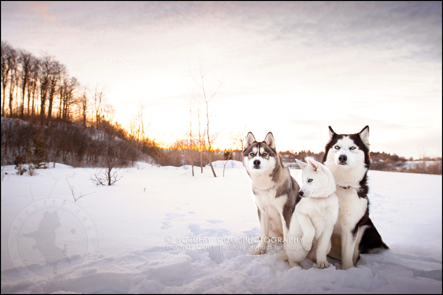 01_ontario_pet_photographer_alame huskies-392-Edit