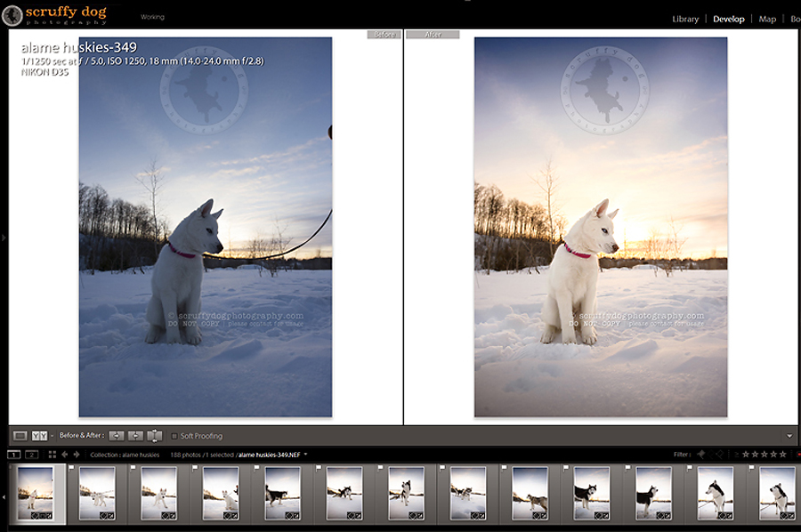 01_photography_lightroom_photoshop_before and after husky