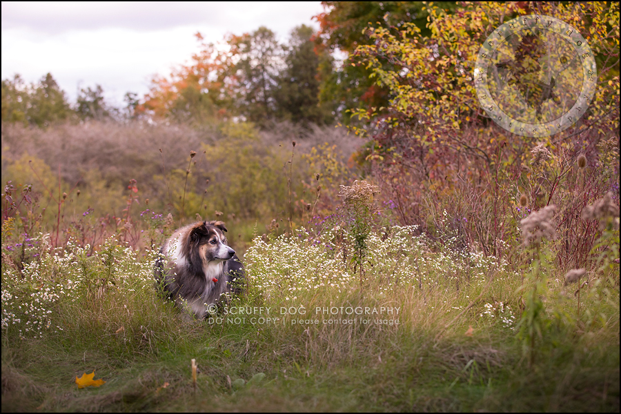 01waterloo_ontario_pet_exclusive_photographer_chinook george beckett-475