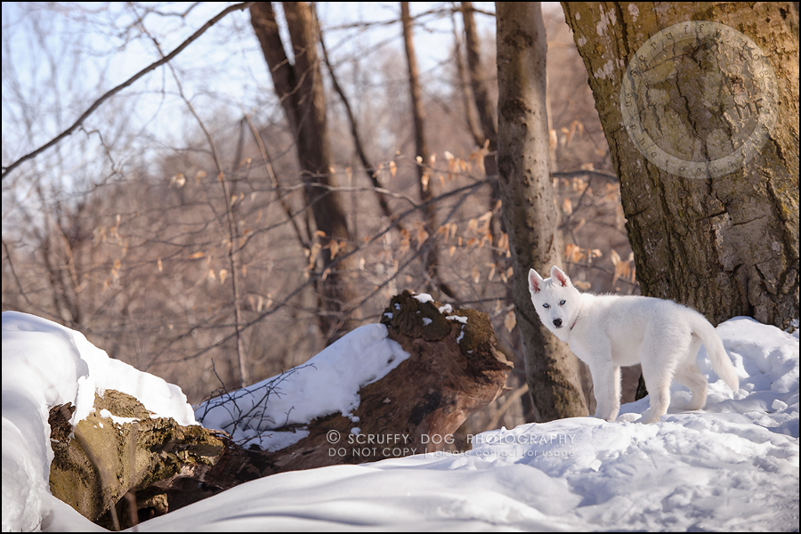 02_ontario_pet_photographer_alame huskies-33