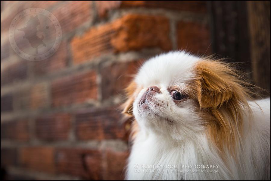 03_Toronto_pet_photographer_Japanese_chins_boey huey zoey szeto-68